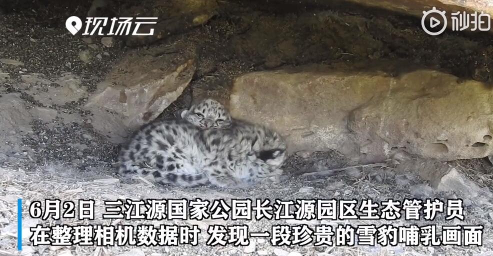 雪豹妈妈岩洞中哺育幼崽